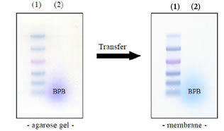 Figure 3 Left: Electrophoresis profile of DynaMarker® Prestain Marker for RNA High (1) on 0.8 %, agarose.- 2.2 M formaldehyde gel / 1x MOPS buffer as running buffer. Right: Blotting of (1) and (2) onto nylon membrane.